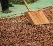 Drogen cacaobonen
